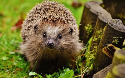 How housing developers and contractors can help hedgehogs – a new guide from Hedgehog Street